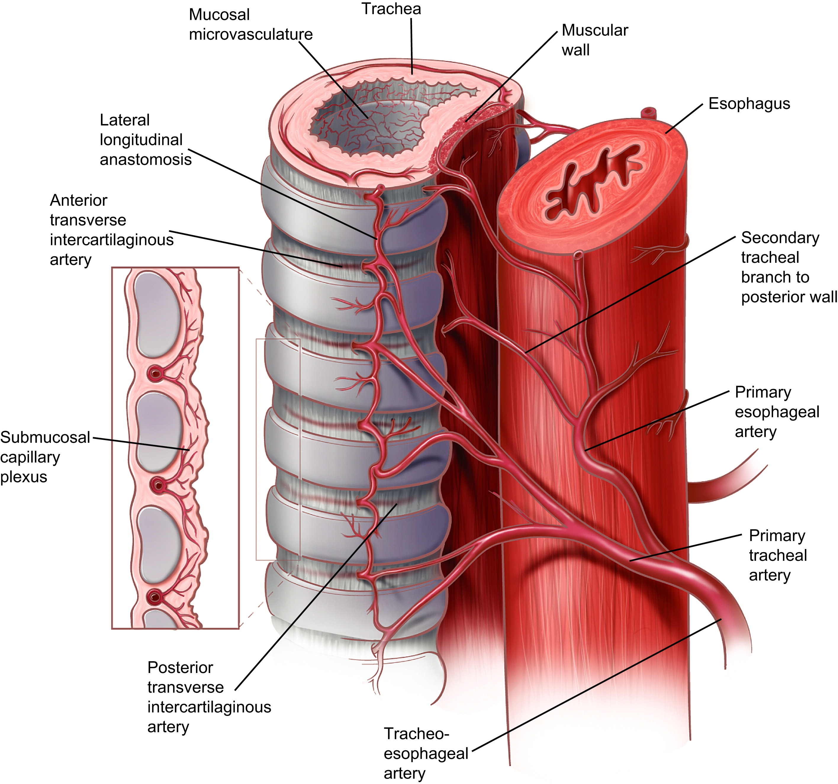 Anatomy Of The Trachea  Carina  And Bronchi